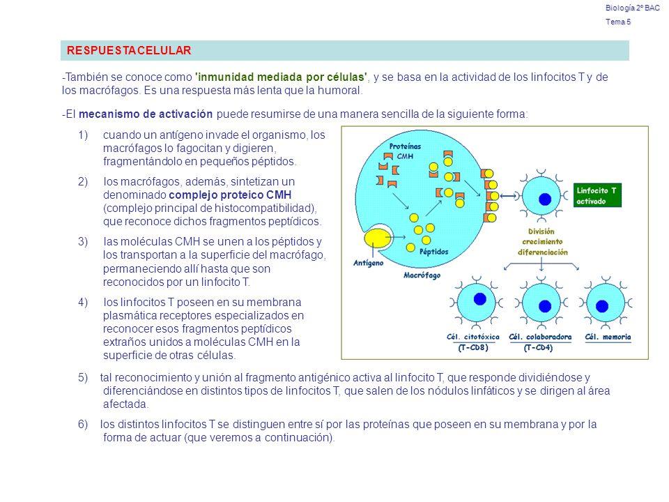 Biología 2º BAC Tema 5 RESPUESTA CELULAR -También se conoce como 'inmunidad mediada por células', y se basa en la actividad de los linfocitos T y de l