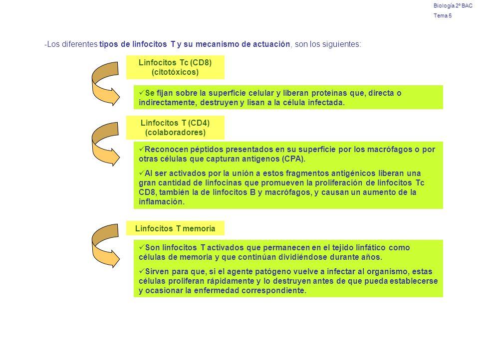 Biología 2º BAC Tema 5 -Los diferentes tipos de linfocitos T y su mecanismo de actuación, son los siguientes: Linfocitos Tc (CD8) (citotóxicos) Se fij