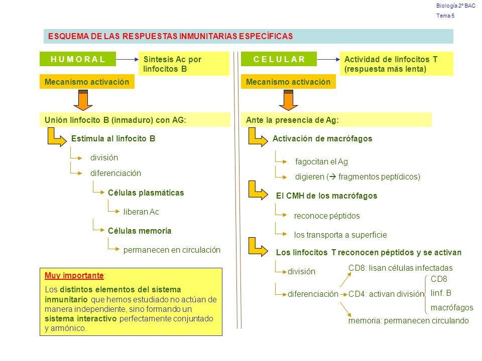 Biología 2º BAC Tema 5 Muy importante: Los distintos elementos del sistema inmunitario que hemos estudiado no actúan de manera independiente, sino for