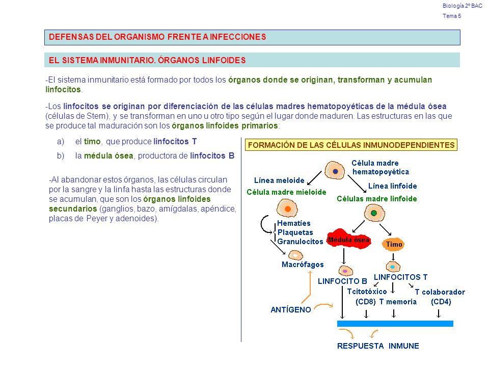 Biología 2º BAC Tema 5 BARRERAS DEFENSIVAS, RESPUESTA INFLAMATORIA E INMUNIDAD Patógeno 1ª BarreraExterna e inespecífica 2ª Barrera Piel Mucosas Flora bacteriana Células Macrófagos fagocitan Granulocitos INFLAMACIÓN Células NK destruyen Interna e inespecífica Moléculas Sistema Complemento colaboran Citocinas eliminan 3ª BarreraInterna e específica Linfocitos Anticuerpos INMUNIDAD HUMORAL Células defensivas INMUNIDAD CELULAR INMUNIDAD NATURAL O INNATA INMUNIDAD ESPECÍFICA O ADQUIRIDA sin memoria inespecífica menos evolucionada con memoria reacción específica más evolucionada Muy importante: en realidad, cuando se produce una respuesta inmunitaria, colaboran ambos mecanismos inmunitarios (el natural y el adquirido), aunque para su estudio tengamos que considerarlos por separado.