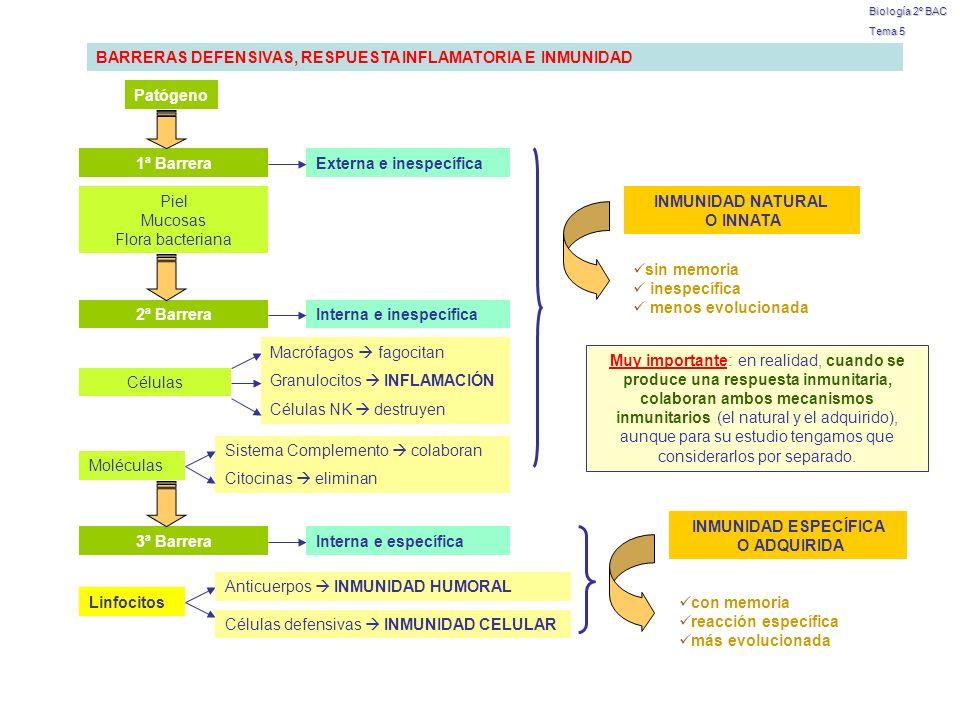 Biología 2º BAC Tema 5 BARRERAS DEFENSIVAS, RESPUESTA INFLAMATORIA E INMUNIDAD Patógeno 1ª BarreraExterna e inespecífica 2ª Barrera Piel Mucosas Flora