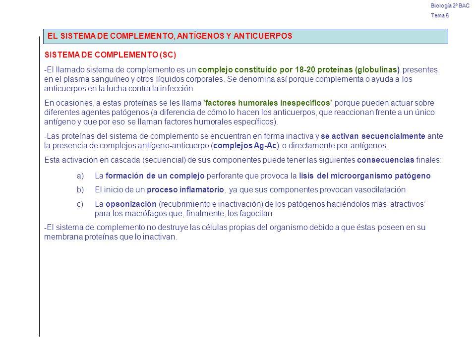 Biología 2º BAC Tema 5 ANTÍGENOS (Ag) Y ANTICUERPOS (Ac) CARACTERÍSICASANTÍGENOSANTICUERPOS Para definir Exógenos (extraños al organismo) Inmunológicos (inducen formación de Ac) Reacción específica con AC Endógenos Elaborados por linfocitos B Producidos en respuesta a AG específicos Naturaleza químicaVariadaProteica: Inmunoglobulinas (Ig) Reacción Ag-Ac Polivalente tienen varios epítopes Bivalentes cada Ac se puede unir a dos epítopes Funcionalidad Activan la formación de Ac por los linfocitos B Son perjudiciales Inactivan a los Ag Neutralizan toxicidad de Ag Activan fagocitos y SC Incrementan actividad linfocitos T Aglutinación (masa complejos Ag-Ac) Bloqueo actividad de patógenos por fijación Activación de fagocitos Opsonización (activación SC) Actividad muy específica elimina actividad de patógenos carácter defensivo tipos
