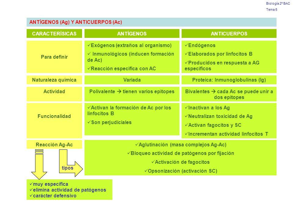 Biología 2º BAC Tema 5 ANTÍGENOS (Ag) Y ANTICUERPOS (Ac) CARACTERÍSICASANTÍGENOSANTICUERPOS Para definir Exógenos (extraños al organismo) Inmunológico
