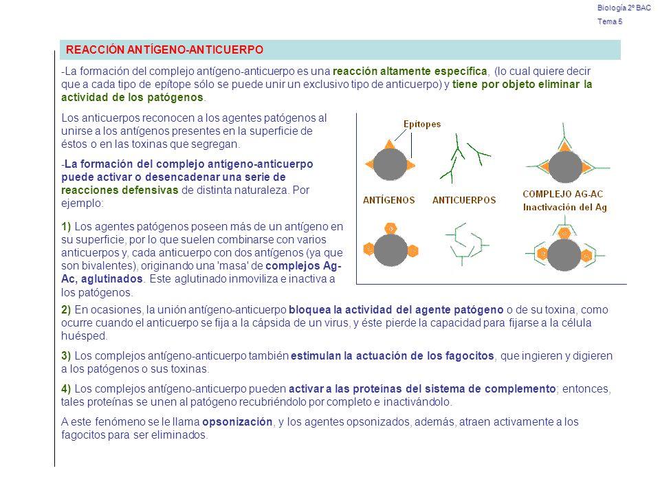 Biología 2º BAC Tema 5 ENFERMEDAD AUTOINMUNITARIA SE REACCIONA CONTRA …EFECTOS Esclerosis múltipleVaina de mielina de los nerviosPérdida de sensibilidad y parálisis Diabetes juvenilCélulas del páncreasProducen menos insulina Artritis reumatoideArticulacionesInflamación e inmovilidad Miastenia gravisReceptores de acetilcolina de los músculos Debilitamiento y parálisis muscular HIPERSENSIBILIDAD -Las reacciones inmunológicas tienden a proteger al organismo, pues tienen por objeto eliminar los antígenos extraños sin producir daño a la persona.
