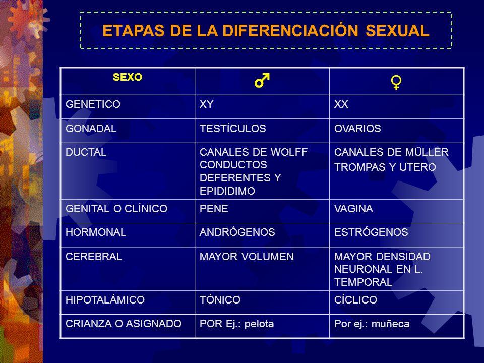 ETAPAS DE LA DIFERENCIACIÓN SEXUAL SEXO GENETICOXYXX GONADALTESTÍCULOSOVARIOS DUCTALCANALES DE WOLFF CONDUCTOS DEFERENTES Y EPIDIDIMO CANALES DE MÜLLE