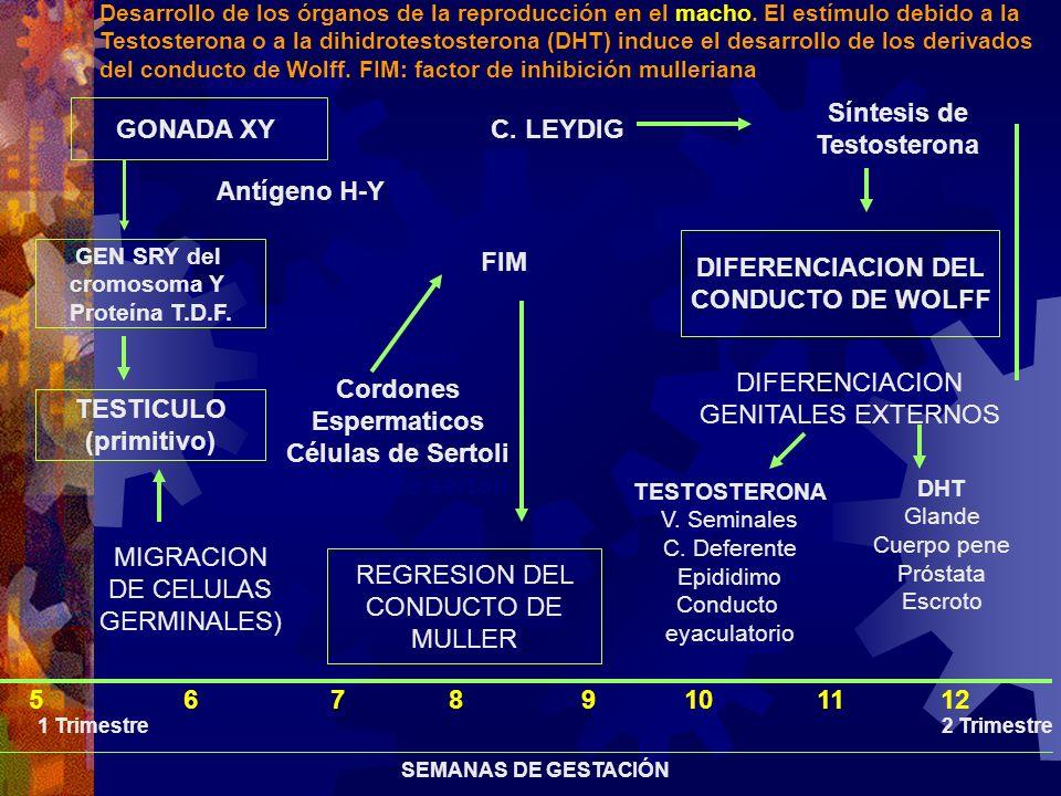 GONADA XY TESTICULO (primitivo) Antígeno H-Y MIGRACION DE CELULAS GERMINALES) Cordones Espermaticos Células de Sertoli Células de sertoli C. LEYDIG Sí