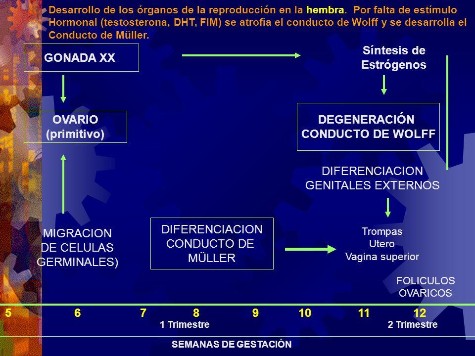 GONADA XX OVARIO (primitivo) MIGRACION DE CELULAS GERMINALES) Síntesis de Estrógenos DEGENERACIÓN CONDUCTO DE WOLFF DIFERENCIACION GENITALES EXTERNOS