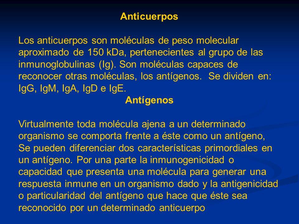 Anticuerpos Los anticuerpos son moléculas de peso molecular aproximado de 150 kDa, pertenecientes al grupo de las inmunoglobulinas (Ig). Son moléculas