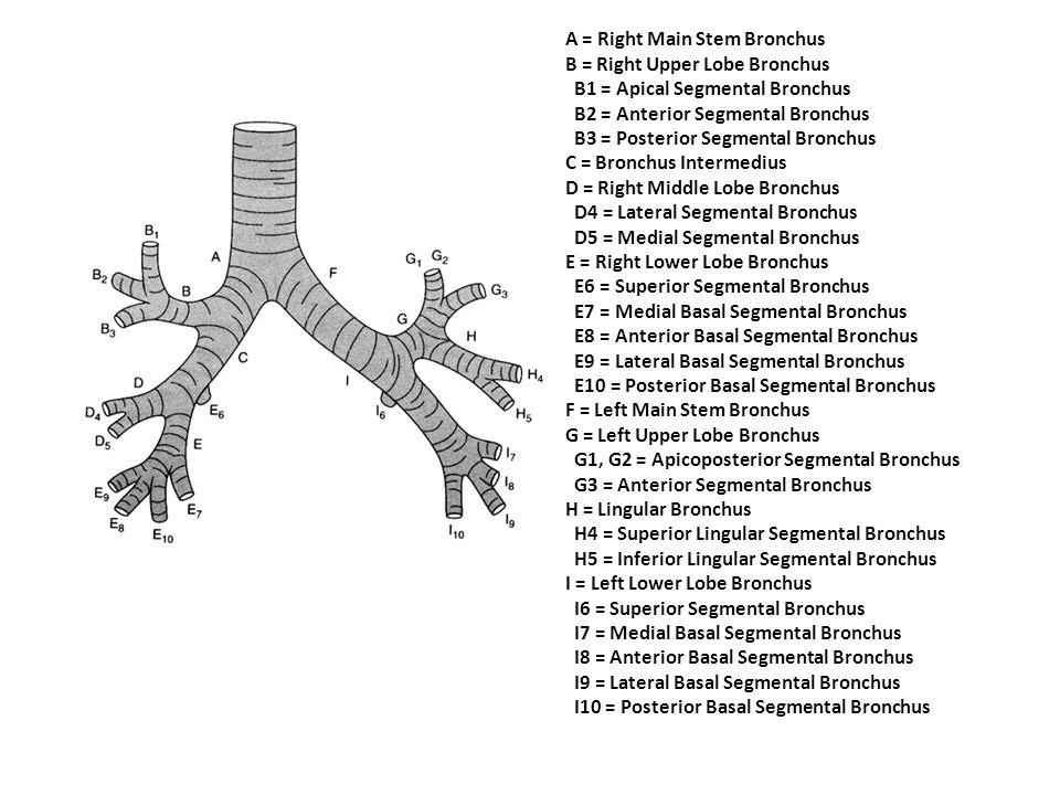 A = Right Main Stem Bronchus B = Right Upper Lobe Bronchus B1 = Apical Segmental Bronchus B2 = Anterior Segmental Bronchus B3 = Posterior Segmental Br