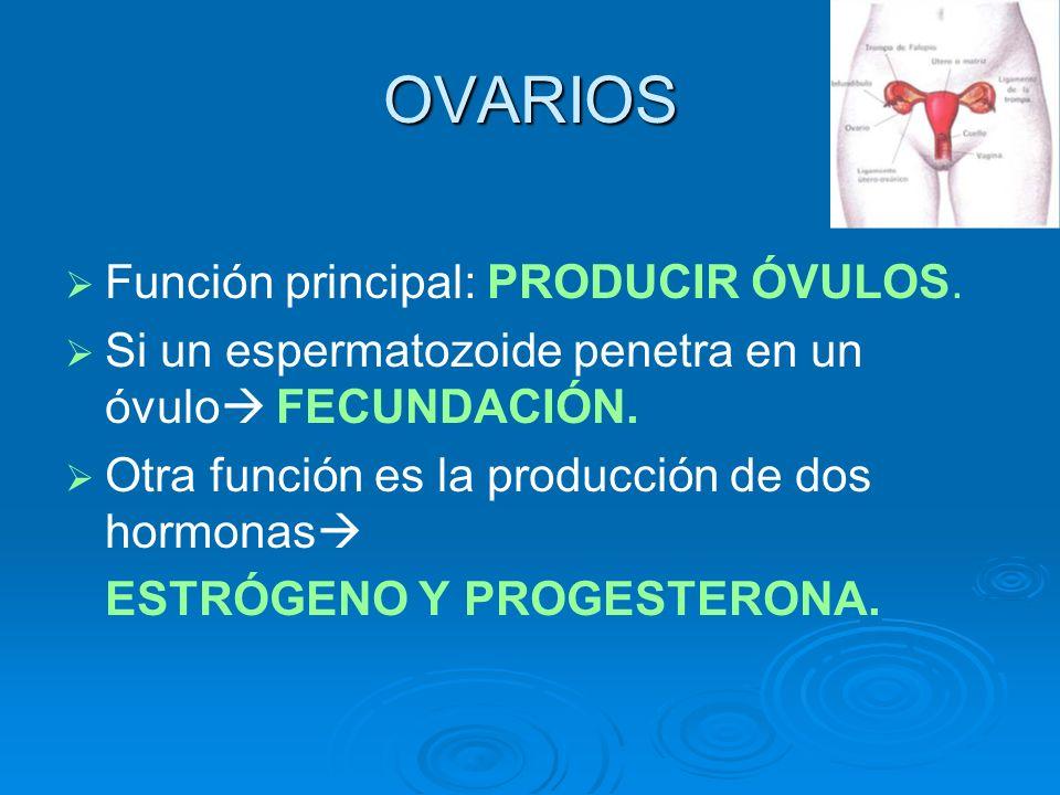 OVARIOS Función principal: PRODUCIR ÓVULOS. Si un espermatozoide penetra en un óvulo FECUNDACIÓN. Otra función es la producción de dos hormonas ESTRÓG
