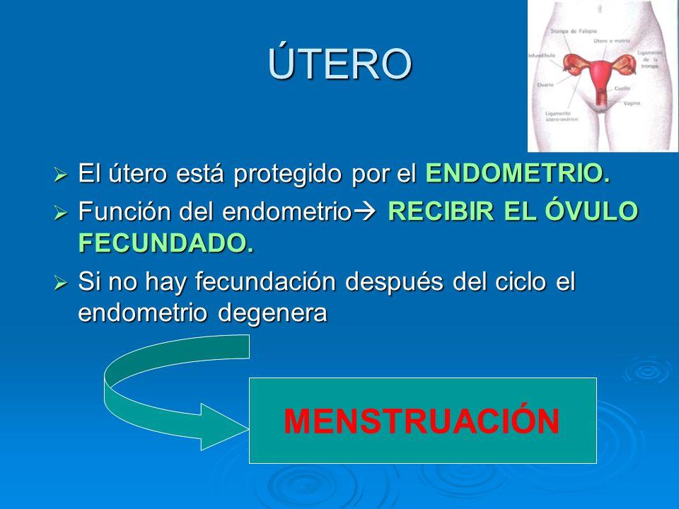 ÚTERO El útero está protegido por el ENDOMETRIO. El útero está protegido por el ENDOMETRIO. Función del endometrio RECIBIR EL ÓVULO FECUNDADO. Función