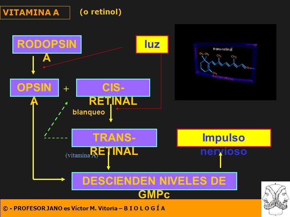 © - PROFESOR JANO es Víctor M. Vitoria – B I O L O G Í A VITAMINA A (o retinol) RODOPSIN A OPSIN A CIS- RETINAL TRANS- RETINAL + luz blanqueo DESCIEND