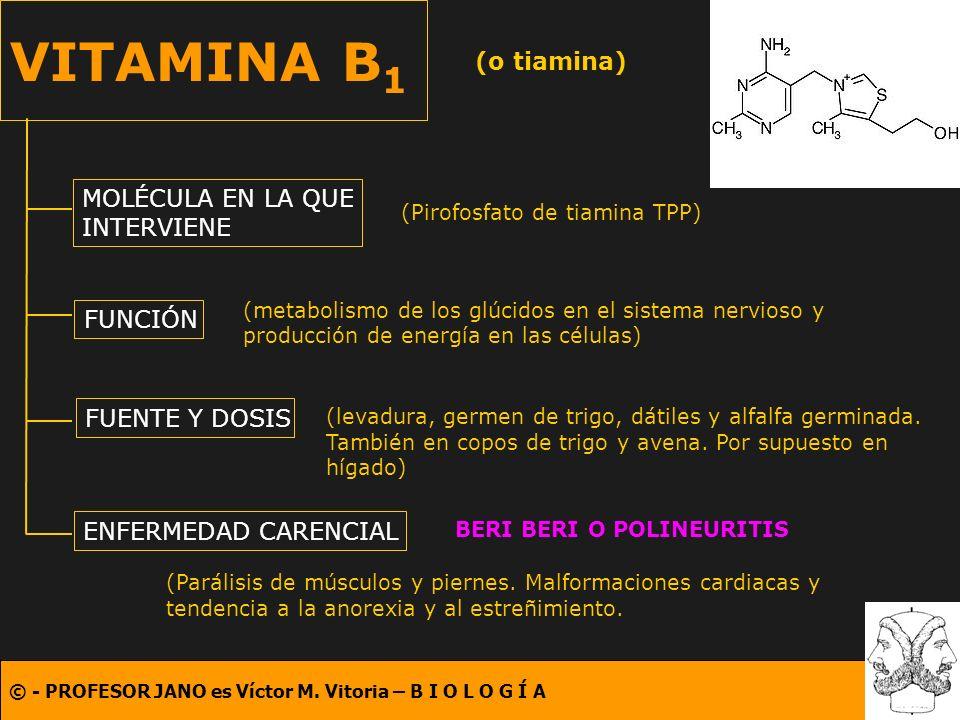 © - PROFESOR JANO es Víctor M. Vitoria – B I O L O G Í A VITAMINA B 1 (o tiamina) MOLÉCULA EN LA QUE INTERVIENE FUNCIÓN FUENTE Y DOSIS ENFERMEDAD CARE