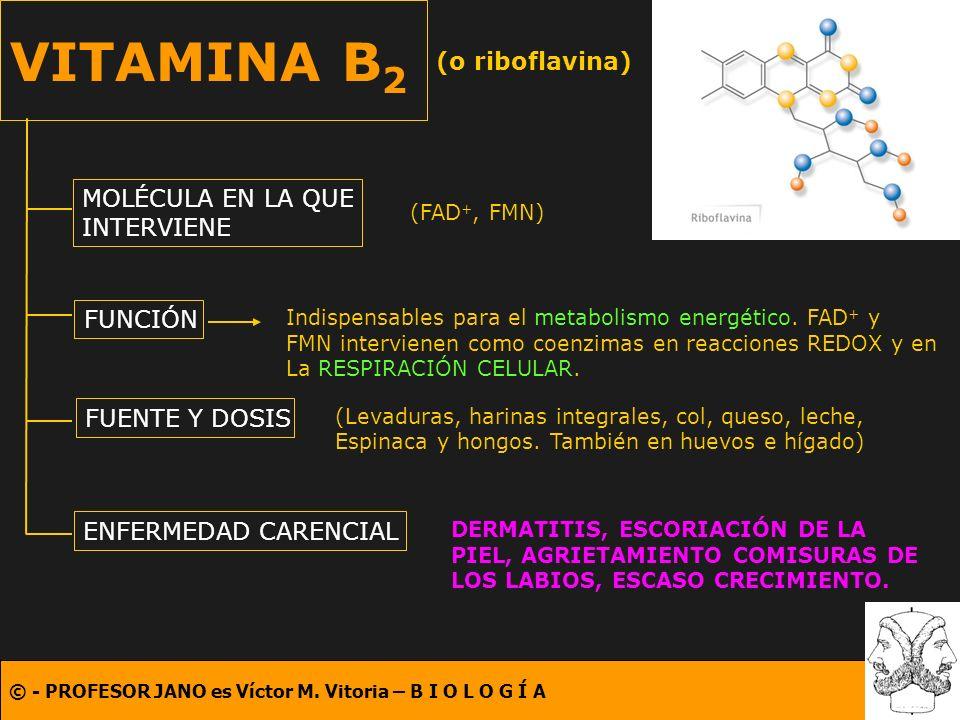 © - PROFESOR JANO es Víctor M. Vitoria – B I O L O G Í A VITAMINA B 2 (o riboflavina) MOLÉCULA EN LA QUE INTERVIENE FUNCIÓN FUENTE Y DOSIS ENFERMEDAD