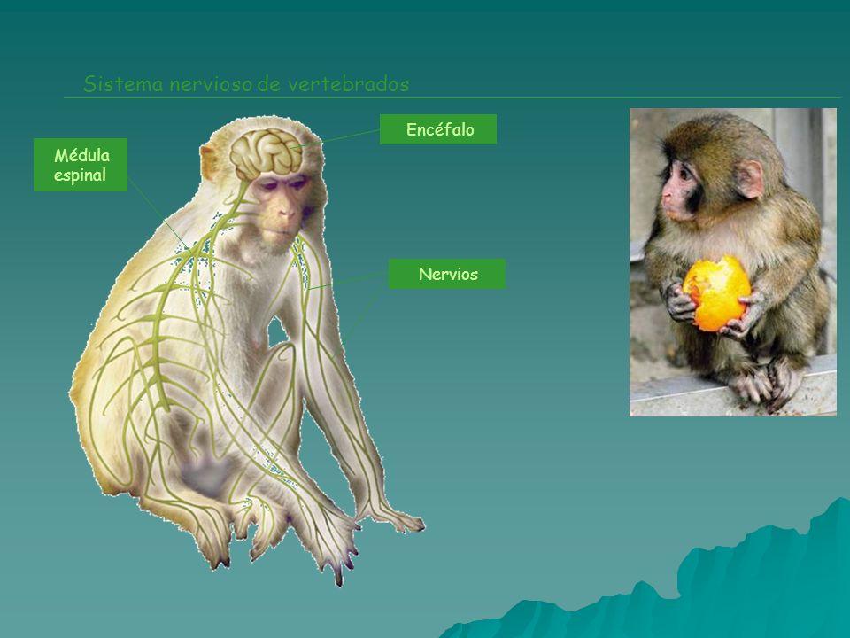 Sistema nervioso de vertebrados Encéfalo Nervios Médula espinal