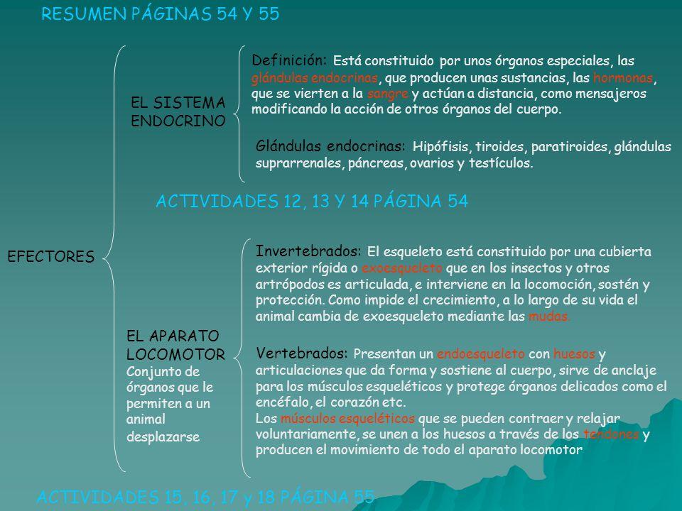 EFECTORES RESUMEN PÁGINAS 54 Y 55 EL SISTEMA ENDOCRINO Definición : Está constituido por unos órganos especiales, las glándulas endocrinas, que produc