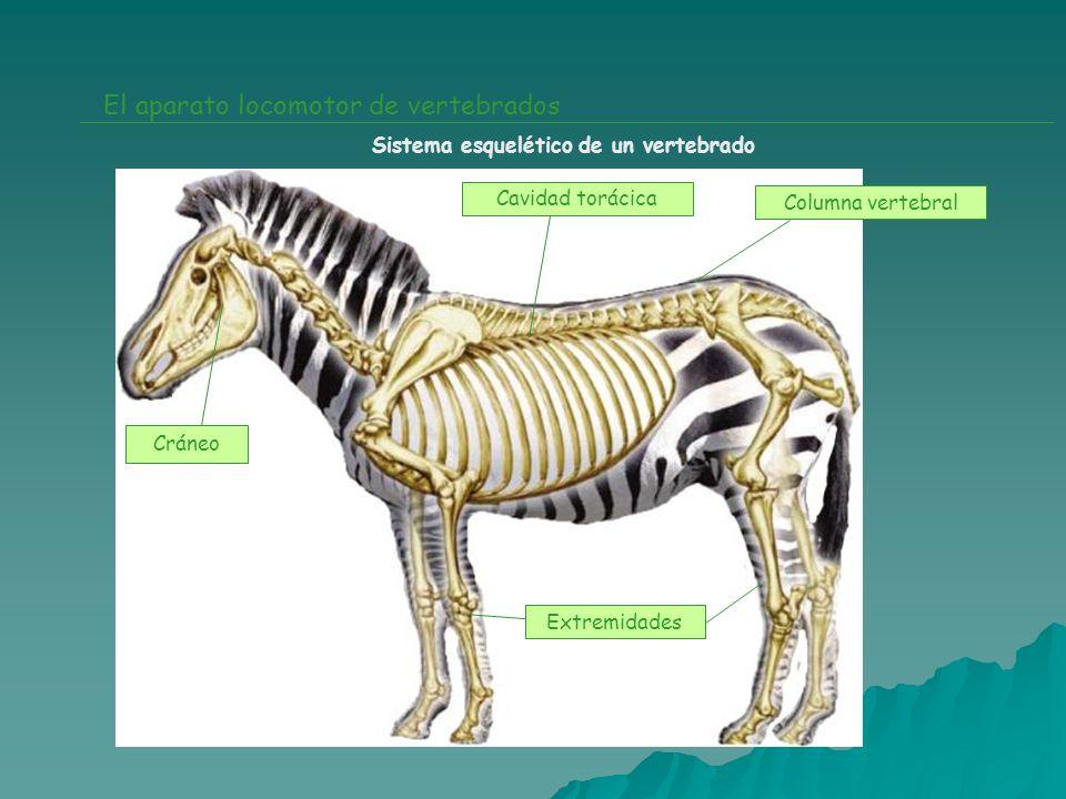 El aparato locomotor de vertebrados Sistema esquelético de un vertebrado Cráneo Cavidad torácica Columna vertebral Extremidades