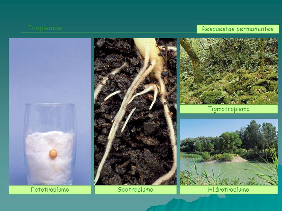 Tropismos FototropismoGeotropismo Tigmotropismo Hidrotropismo Respuestas permanentes