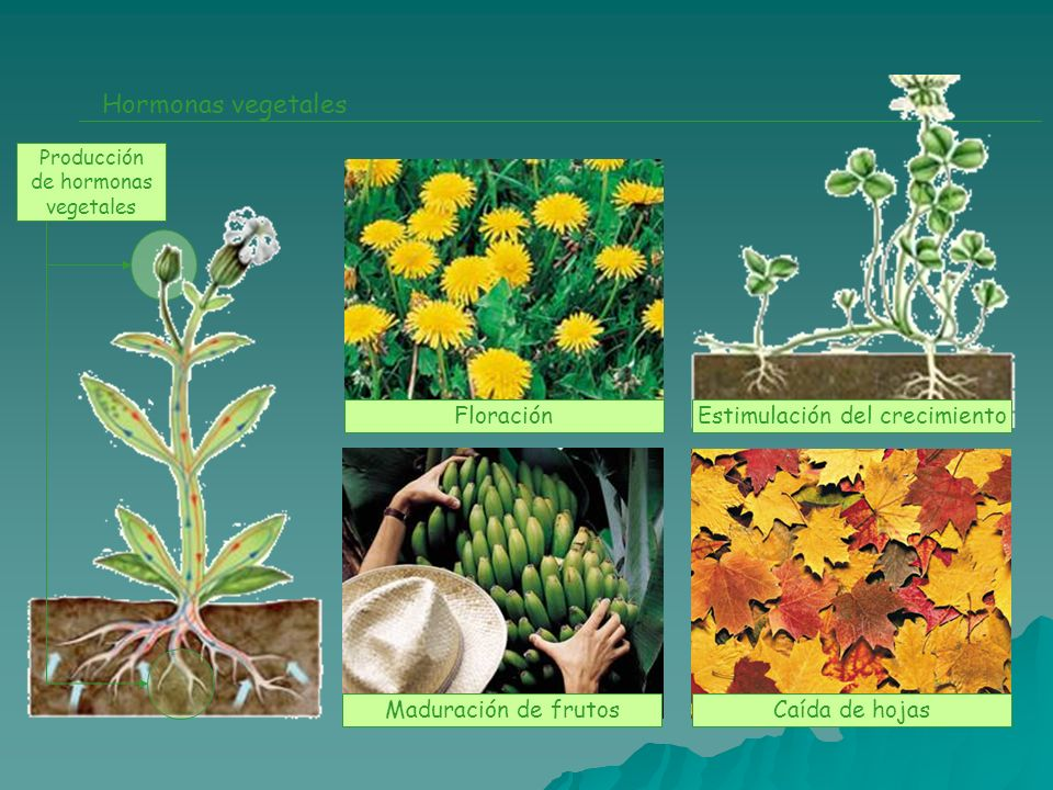 Hormonas vegetales Producción de hormonas vegetales FloraciónEstimulación del crecimiento Maduración de frutosCaída de hojas