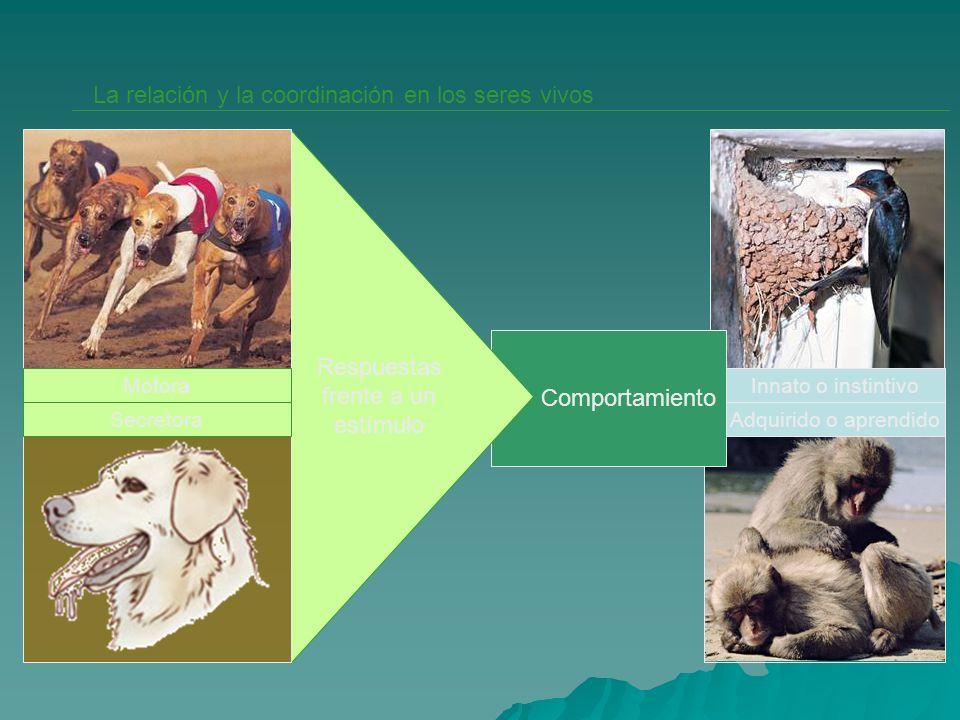 Comportamiento La relación y la coordinación en los seres vivos Motora Secretora Respuestas frente a un estímulo Innato o instintivo Adquirido o apren