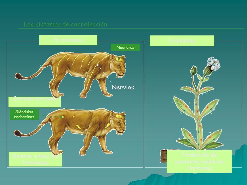 Sistema endocrino Hormonas Sistema nervioso Los sistemas de coordinación En animales En plantas Neuronas Glándulas endocrinas Producción de sustancias