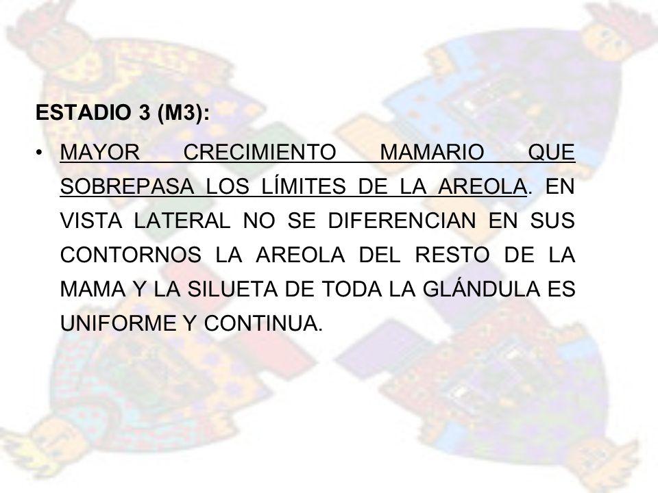ESTADIO 3 (M3): MAYOR CRECIMIENTO MAMARIO QUE SOBREPASA LOS LÍMITES DE LA AREOLA. EN VISTA LATERAL NO SE DIFERENCIAN EN SUS CONTORNOS LA AREOLA DEL RE
