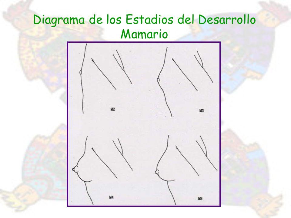 Diagrama de los Estadios del Desarrollo Mamario