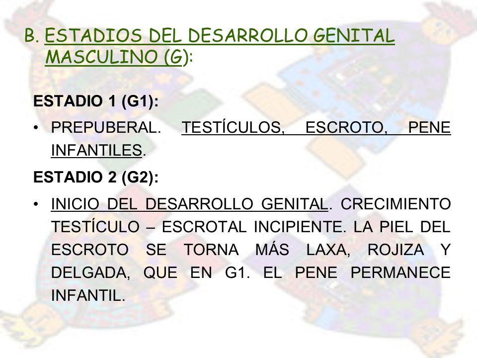 B. ESTADIOS DEL DESARROLLO GENITAL MASCULINO (G): ESTADIO 1 (G1): PREPUBERAL. TESTÍCULOS, ESCROTO, PENE INFANTILES. ESTADIO 2 (G2): INICIO DEL DESARRO