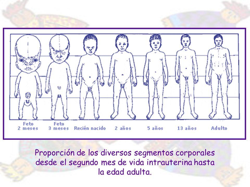 Proporción de los diversos segmentos corporales desde el segundo mes de vida intrauterina hasta la edad adulta.