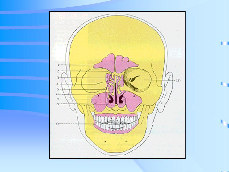 Fosas nasales Se hallan divididas en 2 El tabique es relativamente resistente a la invasión tumoral.