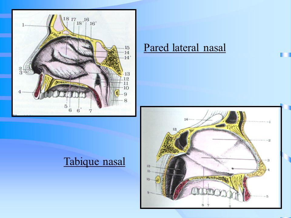 ESTADIFICACIÓN Es para los tumores del seno maxilar que son los más frecuentes LINEA DE OHNGREN: línea imaginaria trazada desde el canto interno del ojo hasta el ángulo de la mandíbula Divide a los senos en: –Supraestructura (senos frontales, etmoidales, esfenoidales, órbita, techo del seno maxilar, parte posterosuperior de las fosas nasales) –Infraestructura (parte media y piso de los senos maxilares, región anteroinferior de las fosas nasales, reborde alveolar y paladar)