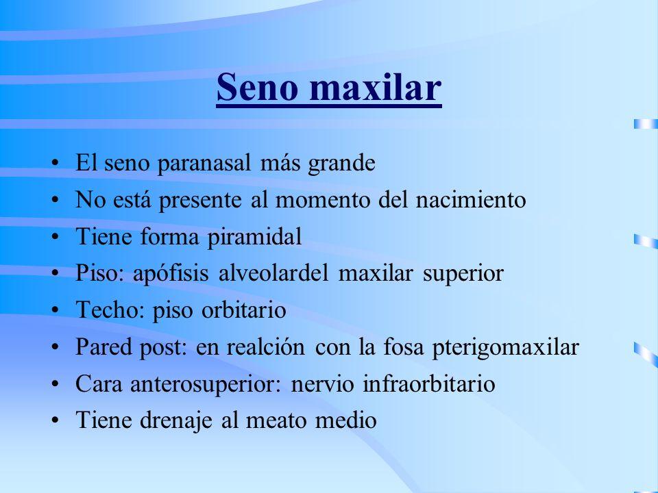 Seno maxilar El seno paranasal más grande No está presente al momento del nacimiento Tiene forma piramidal Piso: apófisis alveolardel maxilar superior