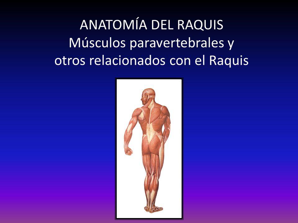 ANATOMÍA DEL RAQUIS Músculos paravertebrales y otros relacionados con el Raquis