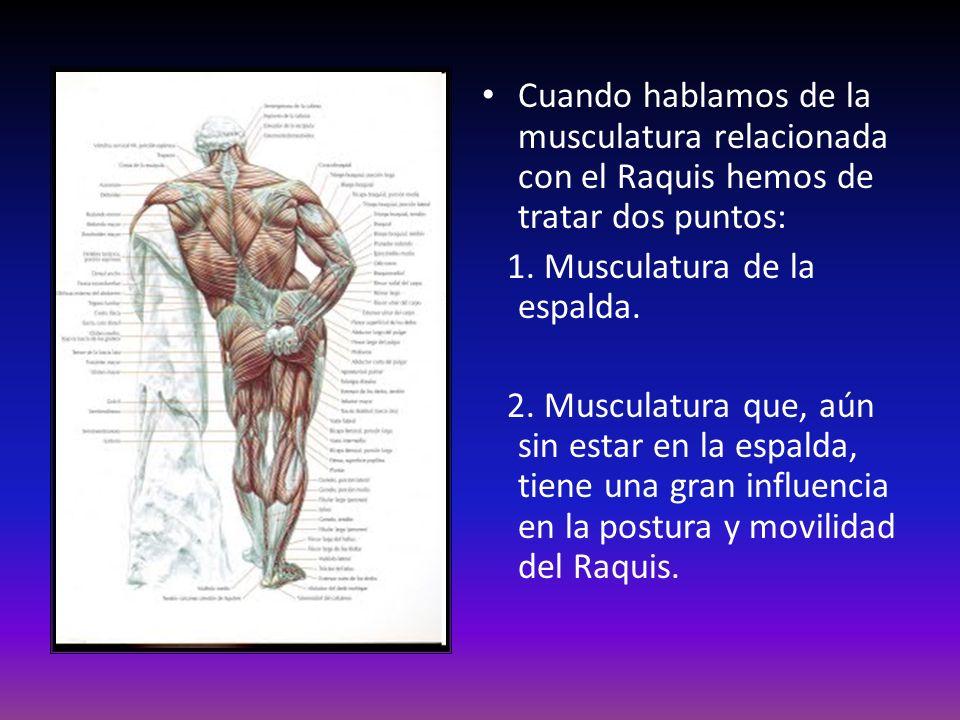 Cuando hablamos de la musculatura relacionada con el Raquis hemos de tratar dos puntos: 1. Musculatura de la espalda. 2. Musculatura que, aún sin esta