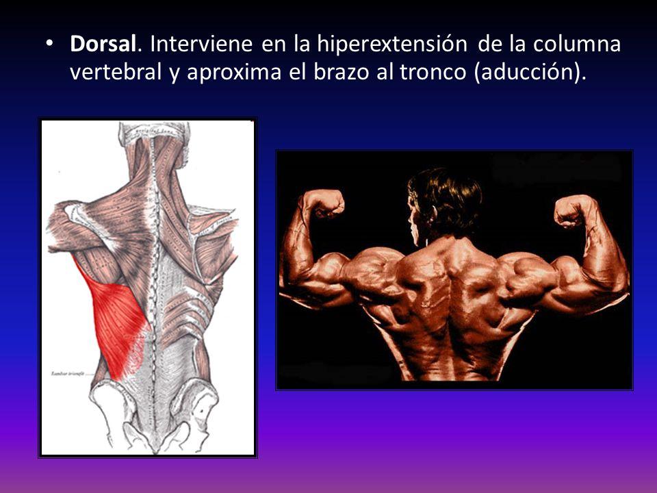 Dorsal. Interviene en la hiperextensión de la columna vertebral y aproxima el brazo al tronco (aducción).