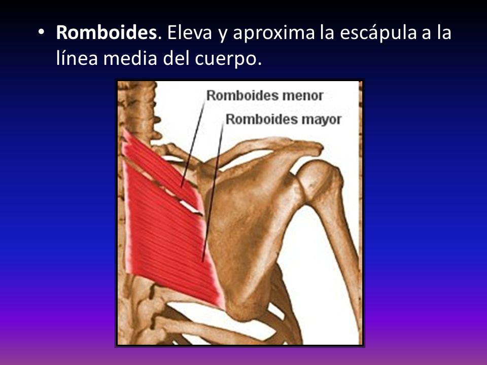 Romboides. Eleva y aproxima la escápula a la línea media del cuerpo.