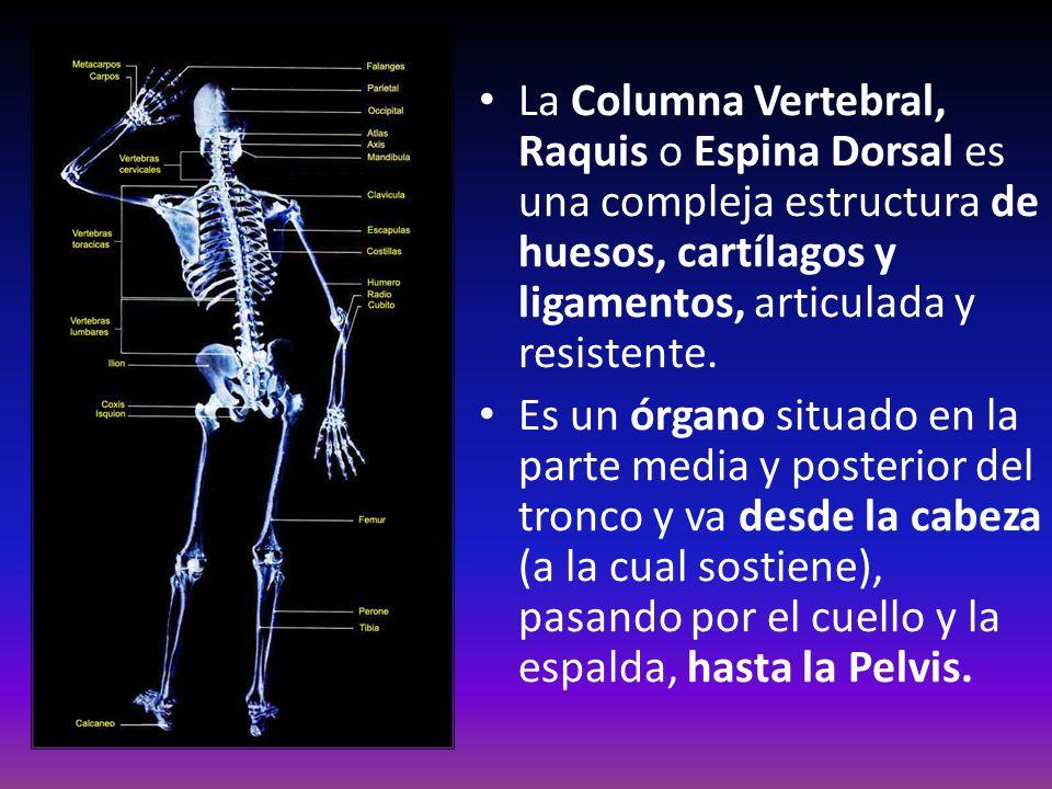 La Columna Vertebral, Raquis o Espina Dorsal es una compleja estructura de huesos, cartílagos y ligamentos, articulada y resistente. Es un órgano situ