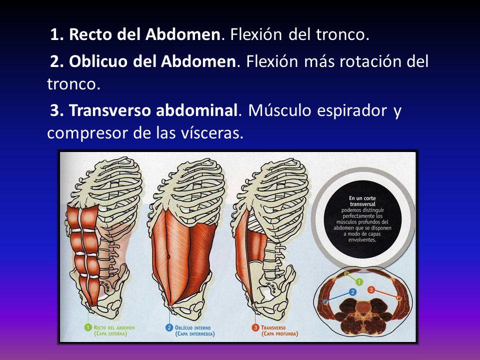 1. Recto del Abdomen. Flexión del tronco. 2. Oblicuo del Abdomen. Flexión más rotación del tronco. 3. Transverso abdominal. Músculo espirador y compre