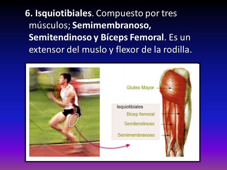 6. Isquiotibiales. Compuesto por tres músculos; Semimembranoso, Semitendinoso y Bíceps Femoral. Es un extensor del muslo y flexor de la rodilla.