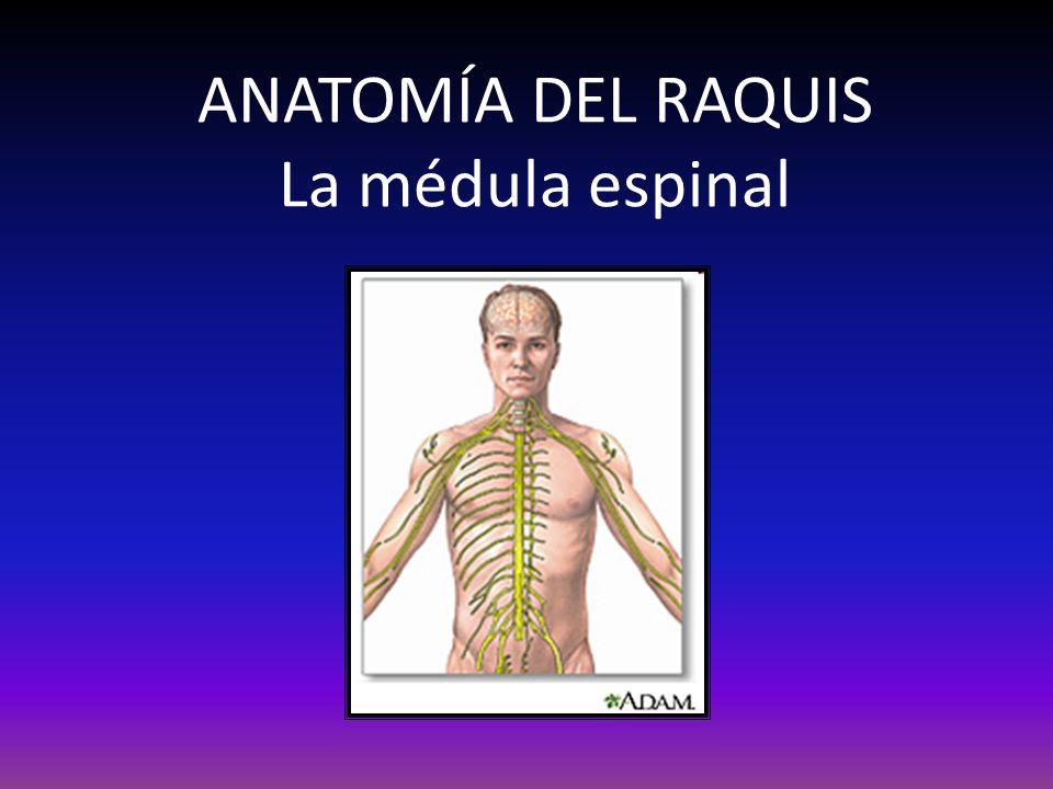 ANATOMÍA DEL RAQUIS La médula espinal