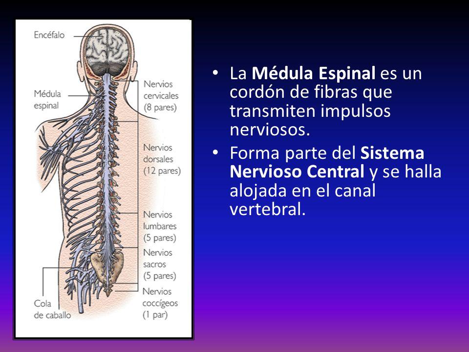 La Médula Espinal es un cordón de fibras que transmiten impulsos nerviosos. Forma parte del Sistema Nervioso Central y se halla alojada en el canal ve