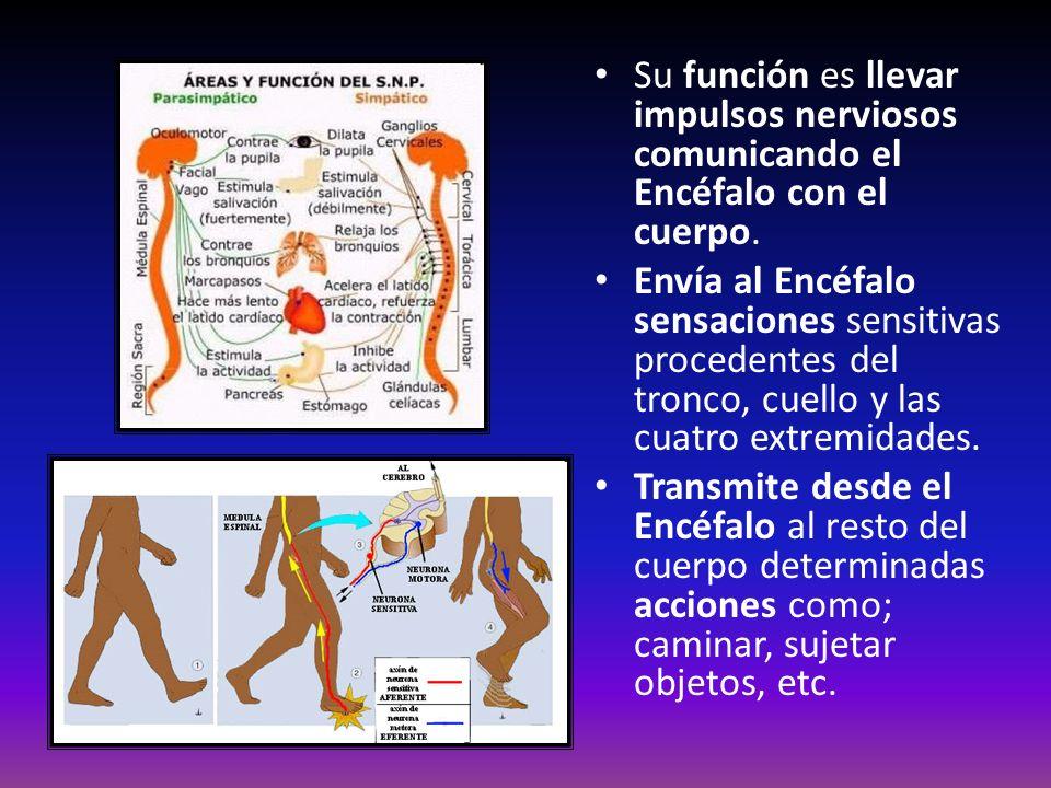 Su función es llevar impulsos nerviosos comunicando el Encéfalo con el cuerpo. Envía al Encéfalo sensaciones sensitivas procedentes del tronco, cuello