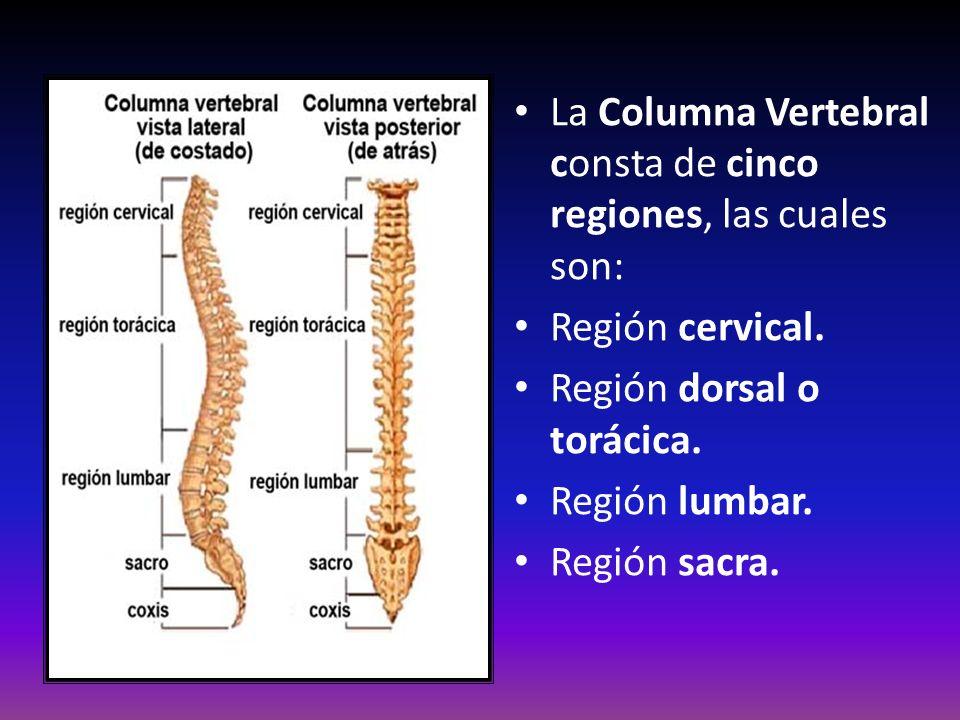 La Columna Vertebral consta de cinco regiones, las cuales son: Región cervical. Región dorsal o torácica. Región lumbar. Región sacra.