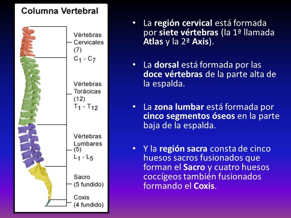 La región cervical está formada por siete vértebras (la 1ª llamada Atlas y la 2ª Axis). La dorsal está formada por las doce vértebras de la parte alta