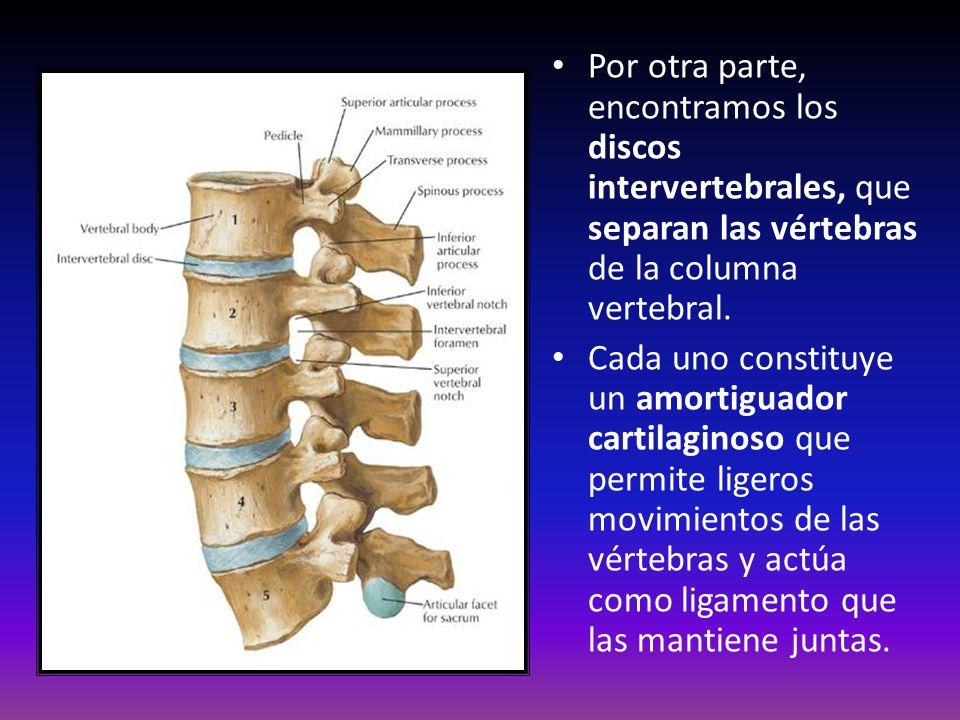 Por otra parte, encontramos los discos intervertebrales, que separan las vértebras de la columna vertebral. Cada uno constituye un amortiguador cartil