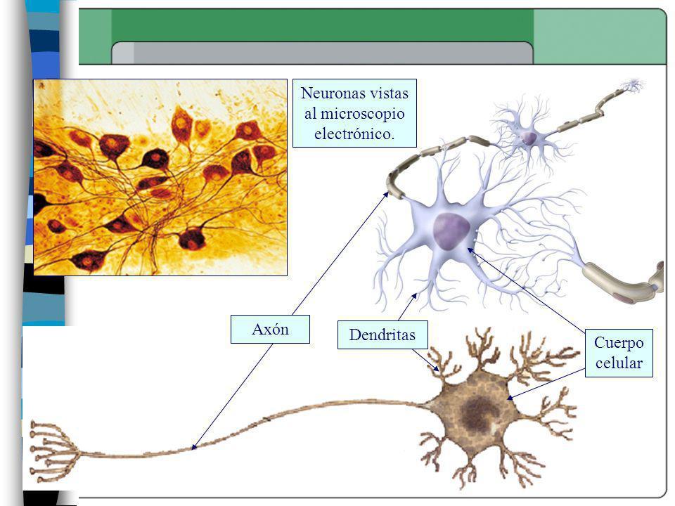 Neuronas vistas al microscopio electrónico. Axón Dendritas Cuerpo celular