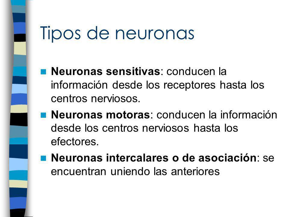 Tipos de neuronas Neuronas sensitivas: conducen la información desde los receptores hasta los centros nerviosos. Neuronas motoras: conducen la informa