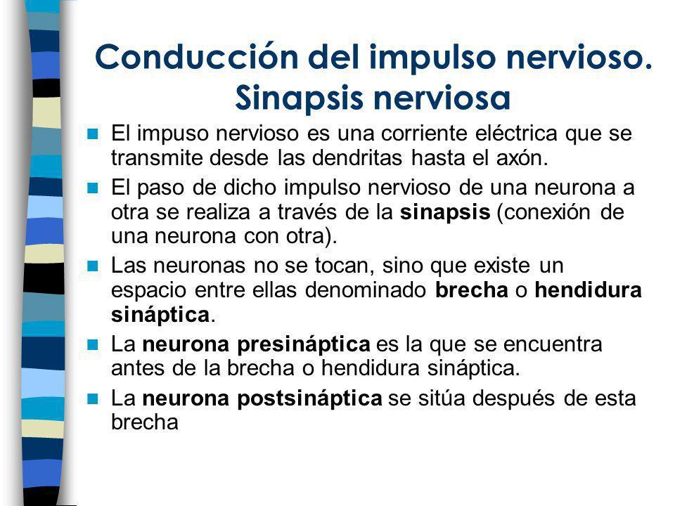 Conducción del impulso nervioso. Sinapsis nerviosa El impuso nervioso es una corriente eléctrica que se transmite desde las dendritas hasta el axón. E