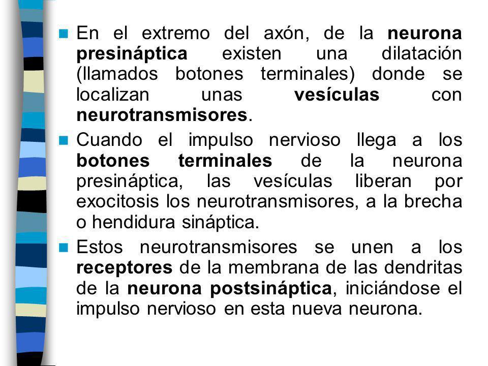 En el extremo del axón, de la neurona presináptica existen una dilatación (llamados botones terminales) donde se localizan unas vesículas con neurotra