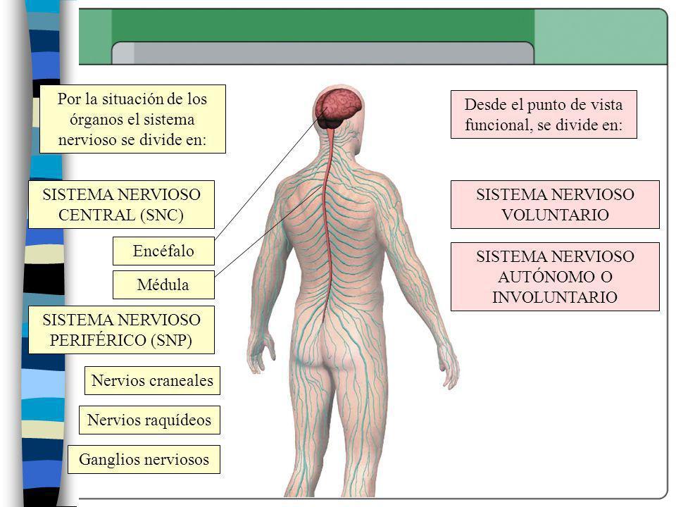 Por la situación de los órganos el sistema nervioso se divide en: Desde el punto de vista funcional, se divide en: SISTEMA NERVIOSO CENTRAL (SNC) SIST